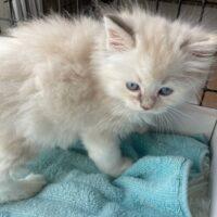 Female Tortie Ragdoll kitten