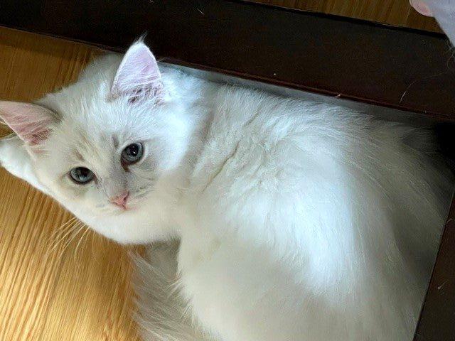Lucy Locket Female blue Torbie Bicolor ragdoll kitten-1